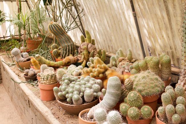 Moorten Botanical Garden cacti plants in the green house