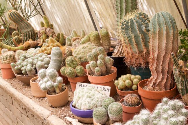 Moorten Botanical Garden small cacti plants in the green house